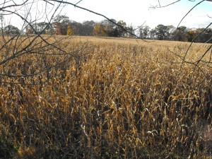 This corn crop is grown for feeding the dairy cattle
